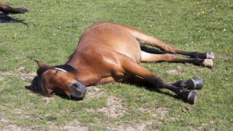 horse-sleeping